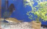 Akvaryuma Sonradan Gelen Balığın Hazin Sonu