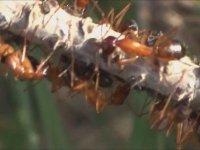 Süper Koloni Karıncaları