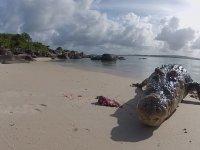 Tuzlu Su Timsahının Denizden Çıkıp Beslenme Anı