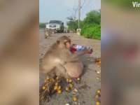 Obez Maymun - Tayland