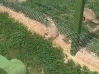 Eskişehir Hayvanat Bahçesinde Elektriğe Çarpılan Rakun