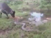 Yavrusu Öldüren Anakondaya Kafa Tutan İnek