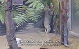 Dünyanın En Aptal Memeli Hayvanı  Koala