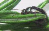 İngiltere'nin Baş Belası Böcek  Chrysolina