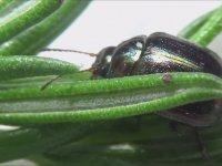 İngiltere'nin Baş Belası Böcek - Chrysolina