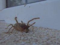 İnsan Eti Yiyen Sarıkız (Sarı Ömer) Örümceği