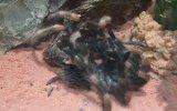 Tarantulanın Deri Değiştirme Ânı