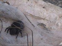 Zehirli Eresus Örümceği Yakalamanın Sırları