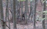 Ormanda Tuzağa Yakalanan Ayı