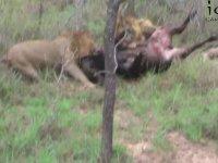 3 Erkek Aslanın Bufaloyu Canlı Canlı Yemeye Başlaması