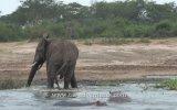 Su Aygırı Yavrusuna Ne Yaptığı Anlaşılamayan Fil
