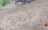 Leopar ile Anne Gnu Arasındaki Vahşi Savaş