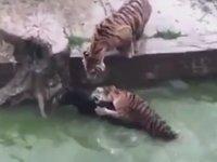 Hayvanat Bahçesindeki Kaplanlara Canlı Eşek Atmak - Çin