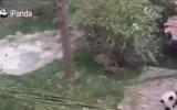 Bakıcısından Ayrılmayan Panda