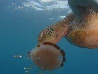 Acıkan Kaplumbağanın Denizanasını Yemesi