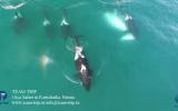 Katil Balinaların Balina Yemesi