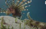 Kızıldeniz'de Görüntülenen İlginç Deniz Solucanı
