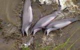 Yunusların Senkronize Avlanarak Kıyıya Çıkması
