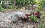 Başına Çuval Geçiren Orangutanın Yavşaklık Yapması