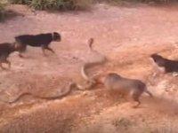 5 Köpeğin Kral Kobraya Saldırması