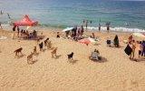 Köpeklerin Kumcağız Plajına İnmesi