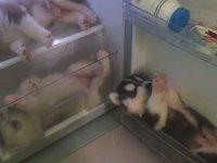 Husky Yavrularının Buzdolabında Huzur Bulması