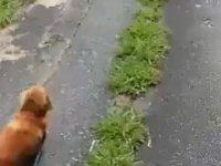 Sahibi Bayılınca Dünyayı Ayağa Kaldıran Köpek