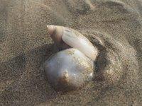 Deniz Salyangozunun Hermit Yengecine Saldırması