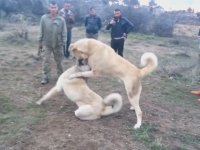 Kangal Köpeklerinin Kavgası