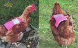 İskoçya'da Tavuklara Ezilmesinler Reflektörlü Yelek Giydirmek