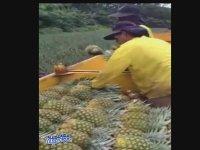 Ananas Hasadı Nasıl Yapılır?