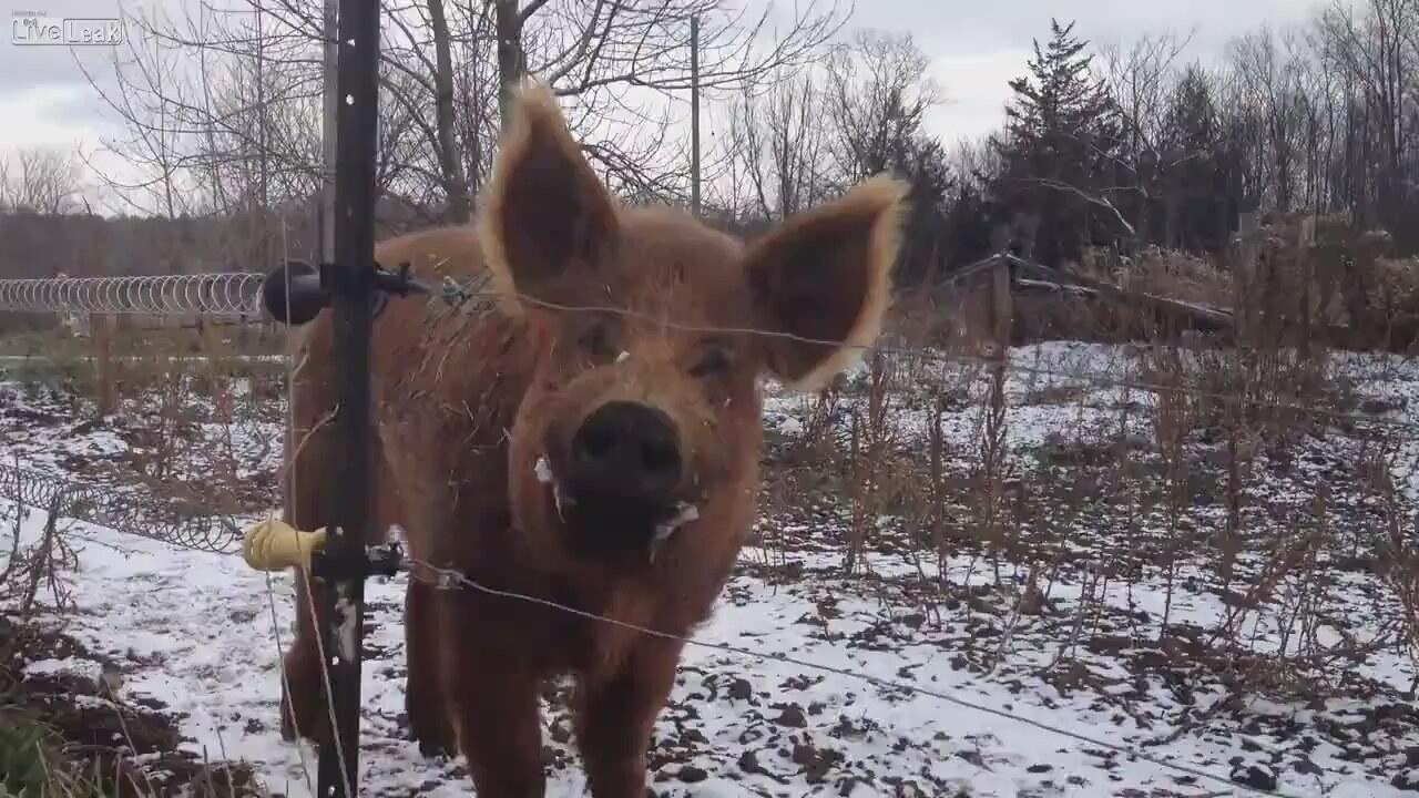 elektrikli tel domuz ile ilgili görsel sonucu