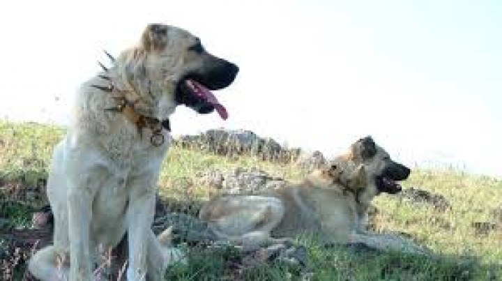 Kangal Köpekleri Videoları
