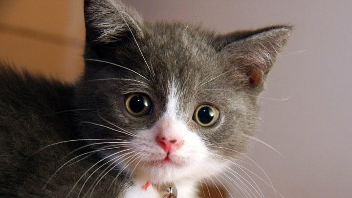 Kedi Sesi Videoları