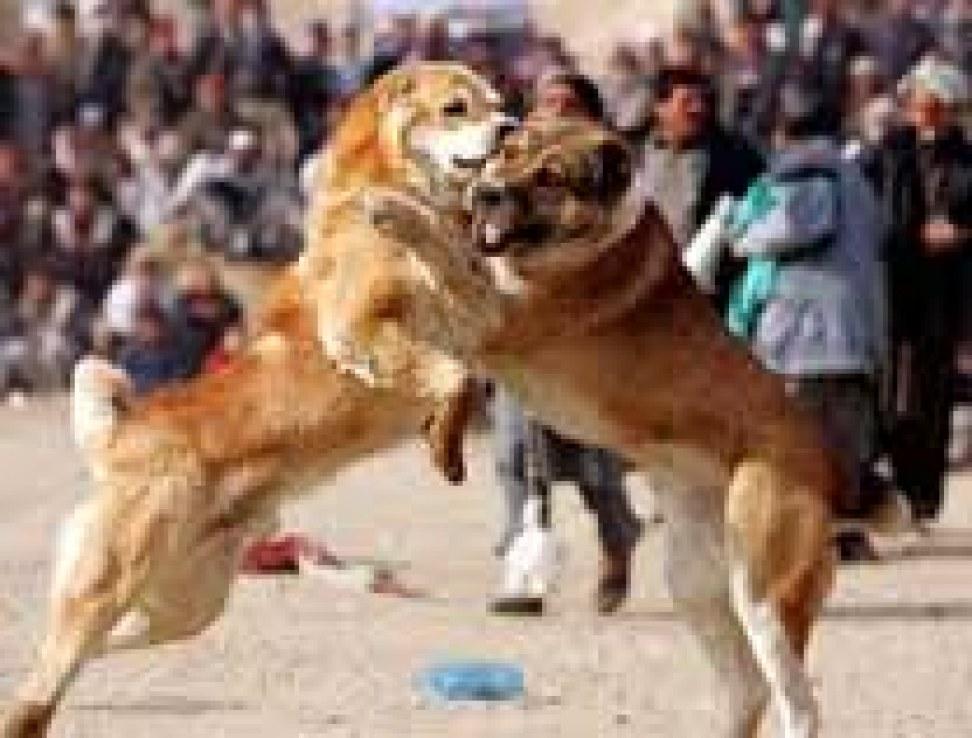 Köpek Dövüşleri