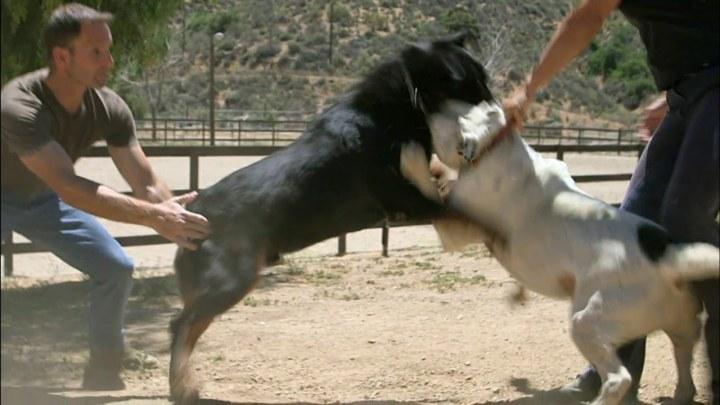 Köpek Dövüşü