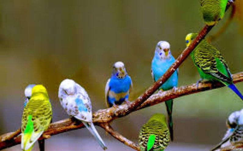 Muhabbet Kuşu Videoları