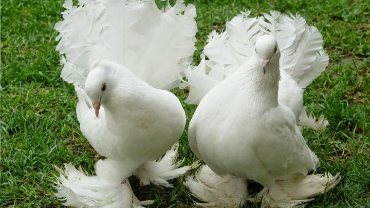 Taklacı Güvercinler Videoları