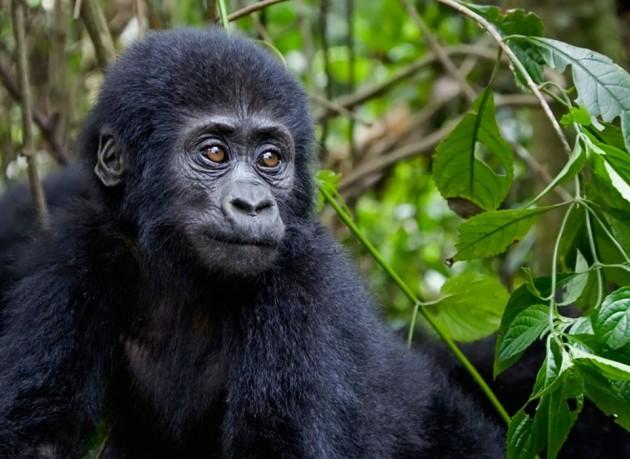 kongo havzası