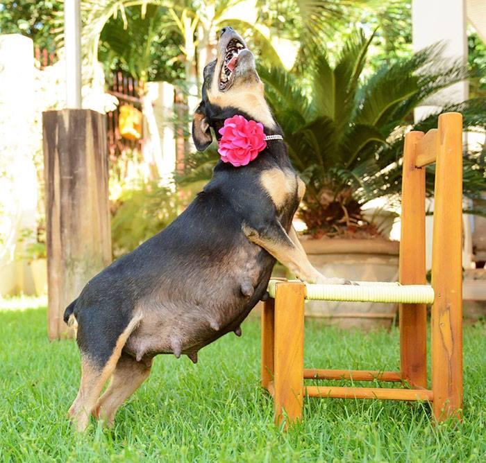Hamile Bir Köpeğin Fotoğraf Çekimleri