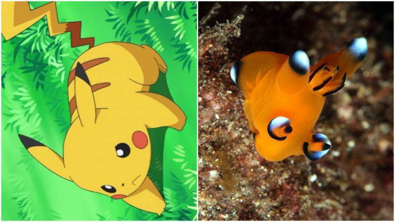 Gerçek Hayattaki Pikachu: Thecacera Pacifica