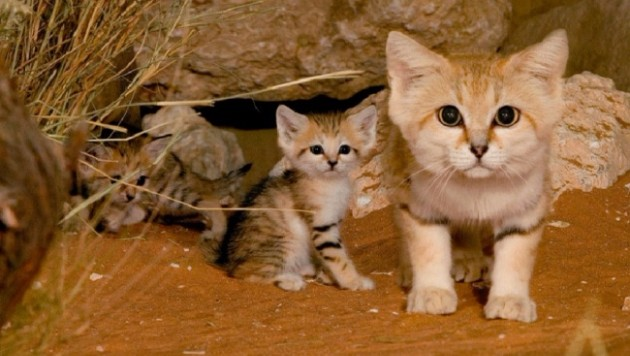 10 Yıldır Kendilerini Saklayan Kum Kedileri Sonunda Ortaya Çıktı