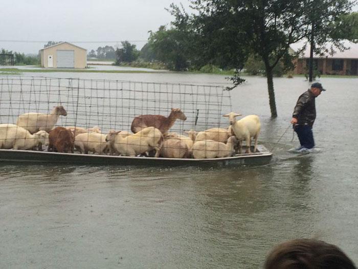 Louisiana Selinde Hayvanları Kurtarmaya Çalışan İnsanlar