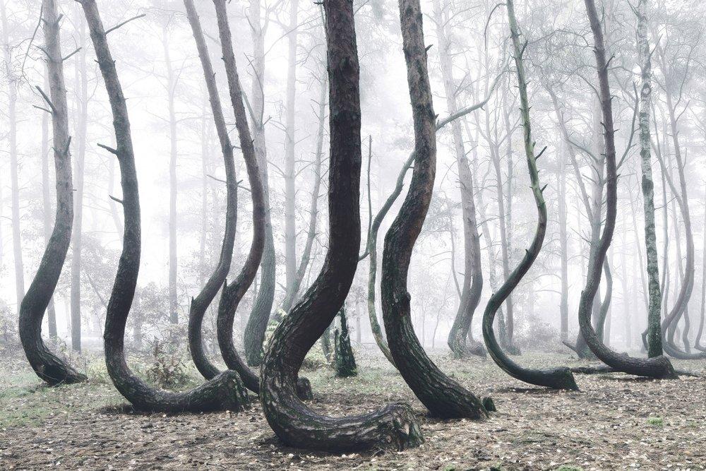 ''S'' Şeklinde 400 Çam Ağacının Ormandaki Sanatsal Görüntüsü