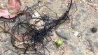 Tayvan'da Görülen İlginç Böceğimsi Canlı