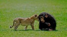 Aslan Cesur Şempanze Cana Karşı