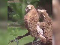Kurbanlık Koyunların Bisikletle Taşınması
