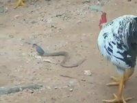 Horozun Kobra Yılanını Yemesi
