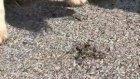 Solucanları Ezilmekten Kurtaran Kahraman Köpek