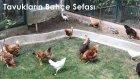 Tavukların Bahce Sefası